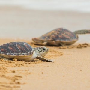 Saving Sea Turtles: BAF's Efforts to Protect Sea Turtles in Anambas